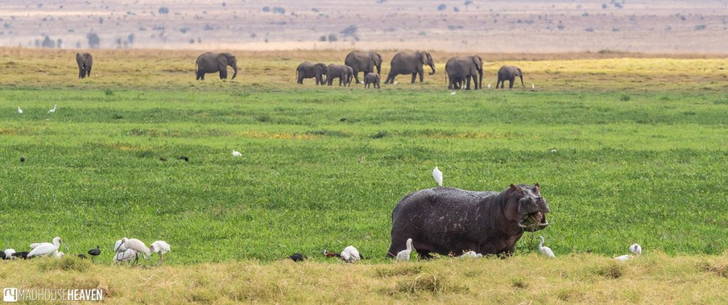 A hippo eating in the foreground, an elephant herd walking by behind