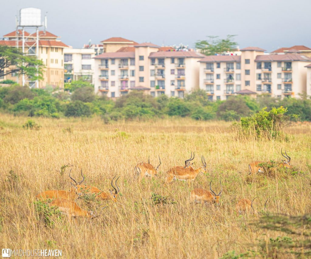 Impala in Nairobi National Park resting in the grass, with housing blocks right outside