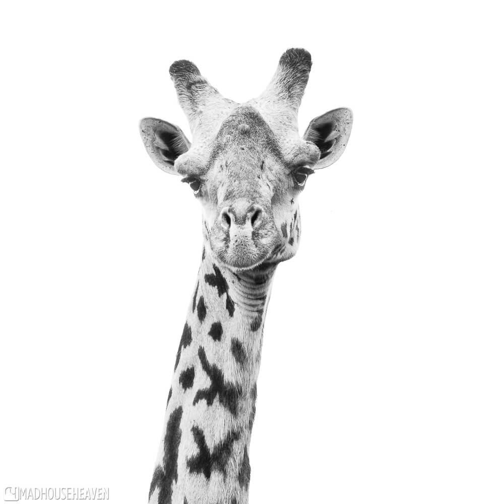 A Masai Giraffe looking straight into the camera for a portrait shot