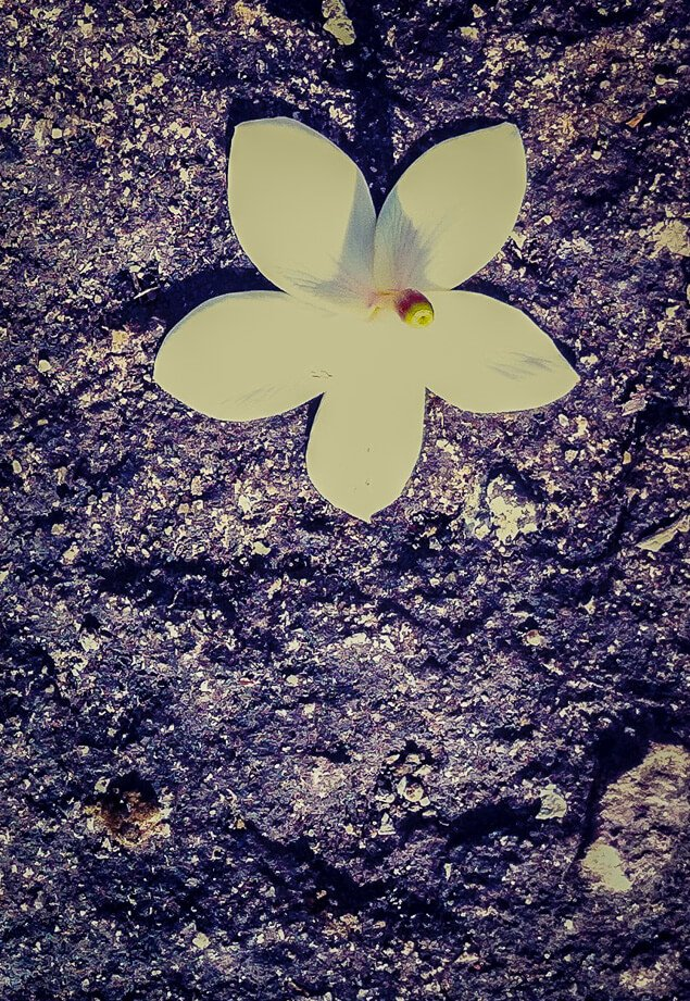 Frangipani Flower on Rocky Ground, Near the Kingfisher Ecolodge, Laos
