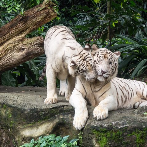 White Tigers, Singapore Zoo, Singapore