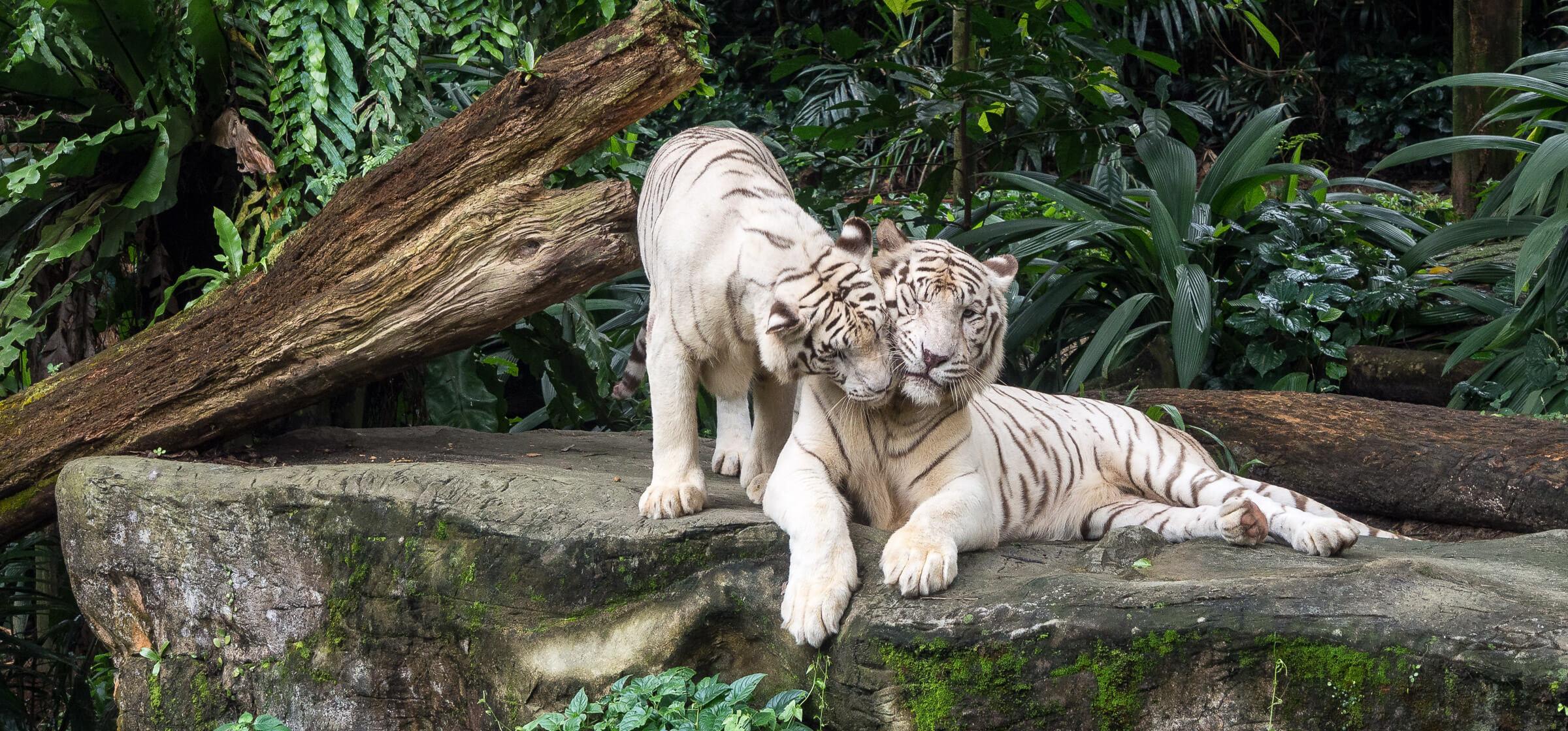 White Tigers, Singapore Zoo, Singapore