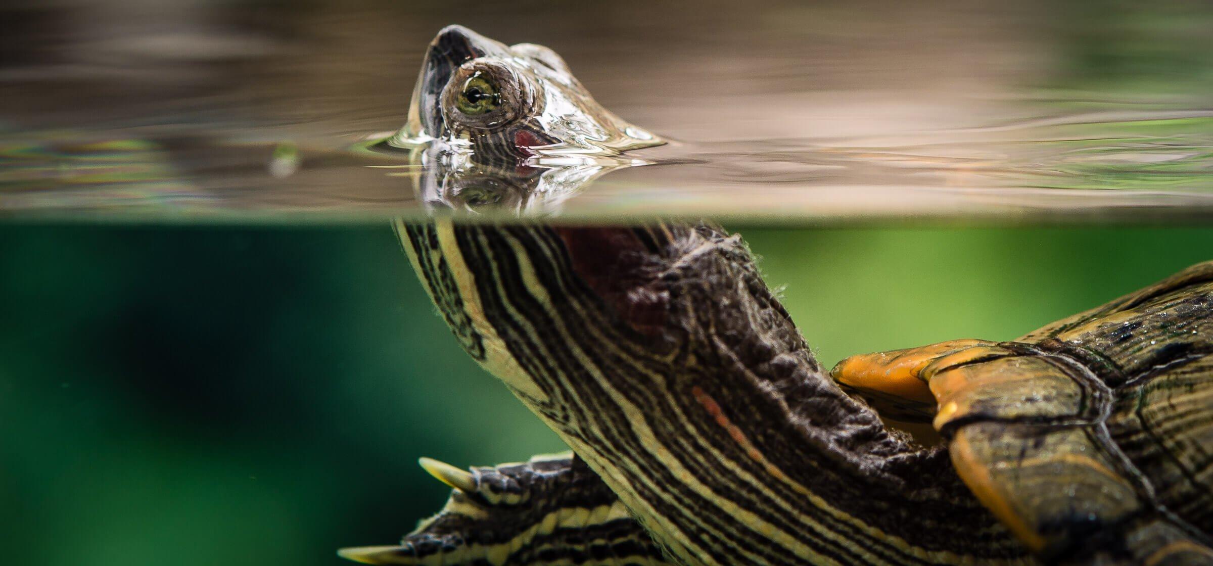 Turtle, River Safari, Singapore Zoo, Singapore