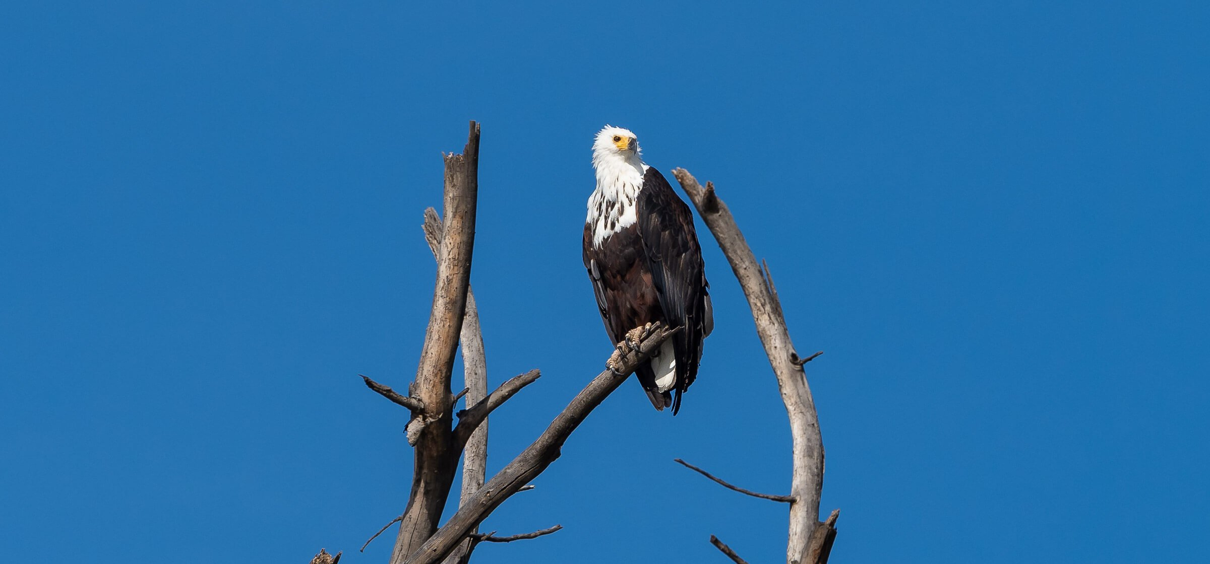 African fish eagle perched on a branch high above Naivasha Lake