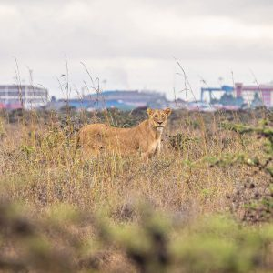 Lioness in the Nairobi National Park, Kenya, with a City Skyline in the Background