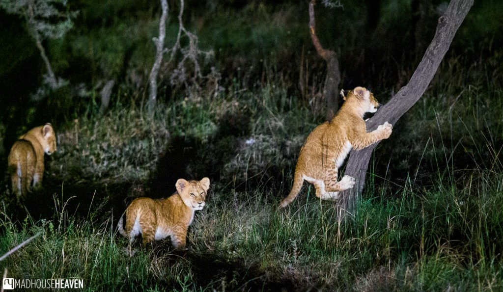 Lion cubs playing at night, one cub is sharpening its claws on the trunk of an acacia