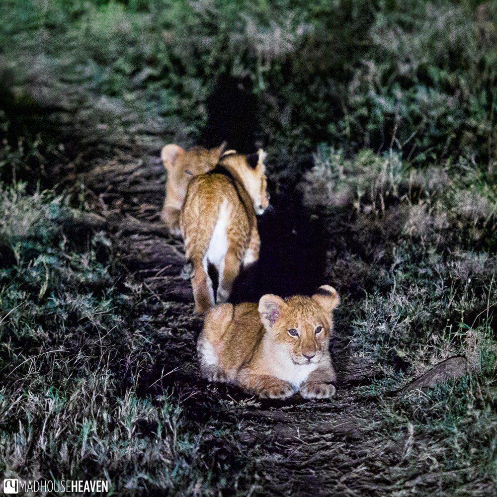 Lion cubs waiting in the grass late at night
