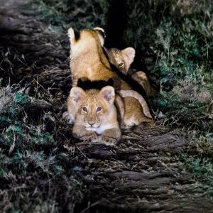 Lion cubs in the grass at night in Mara Naboisho