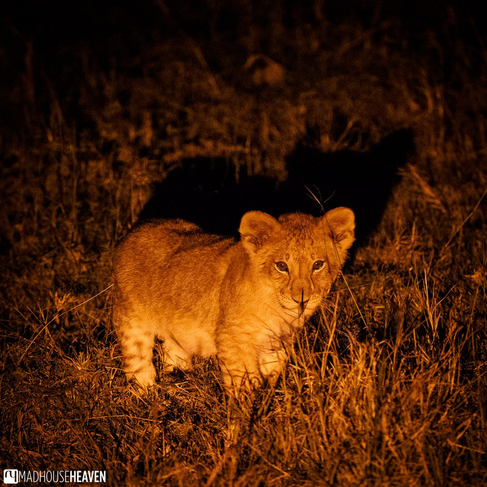 Lion cub caught in a red spotlight in the tall grass