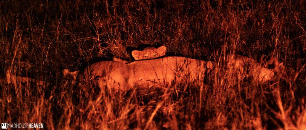 Lion cub feeding on milk at night
