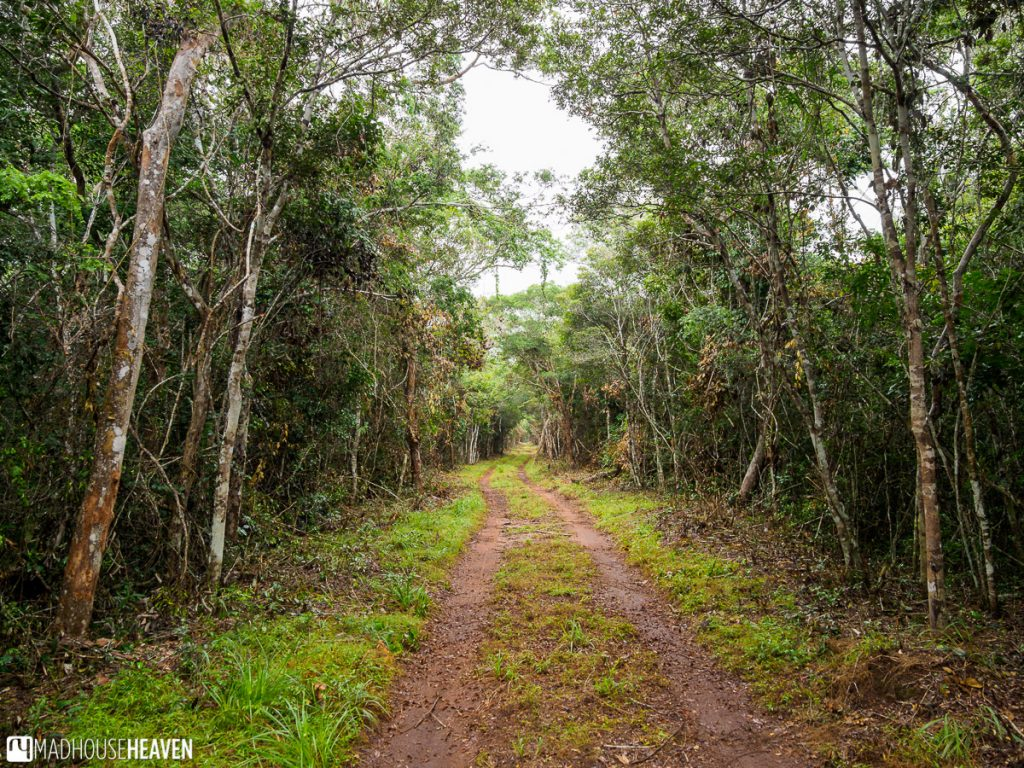 Thick, dense forest surrounding the red dirt road