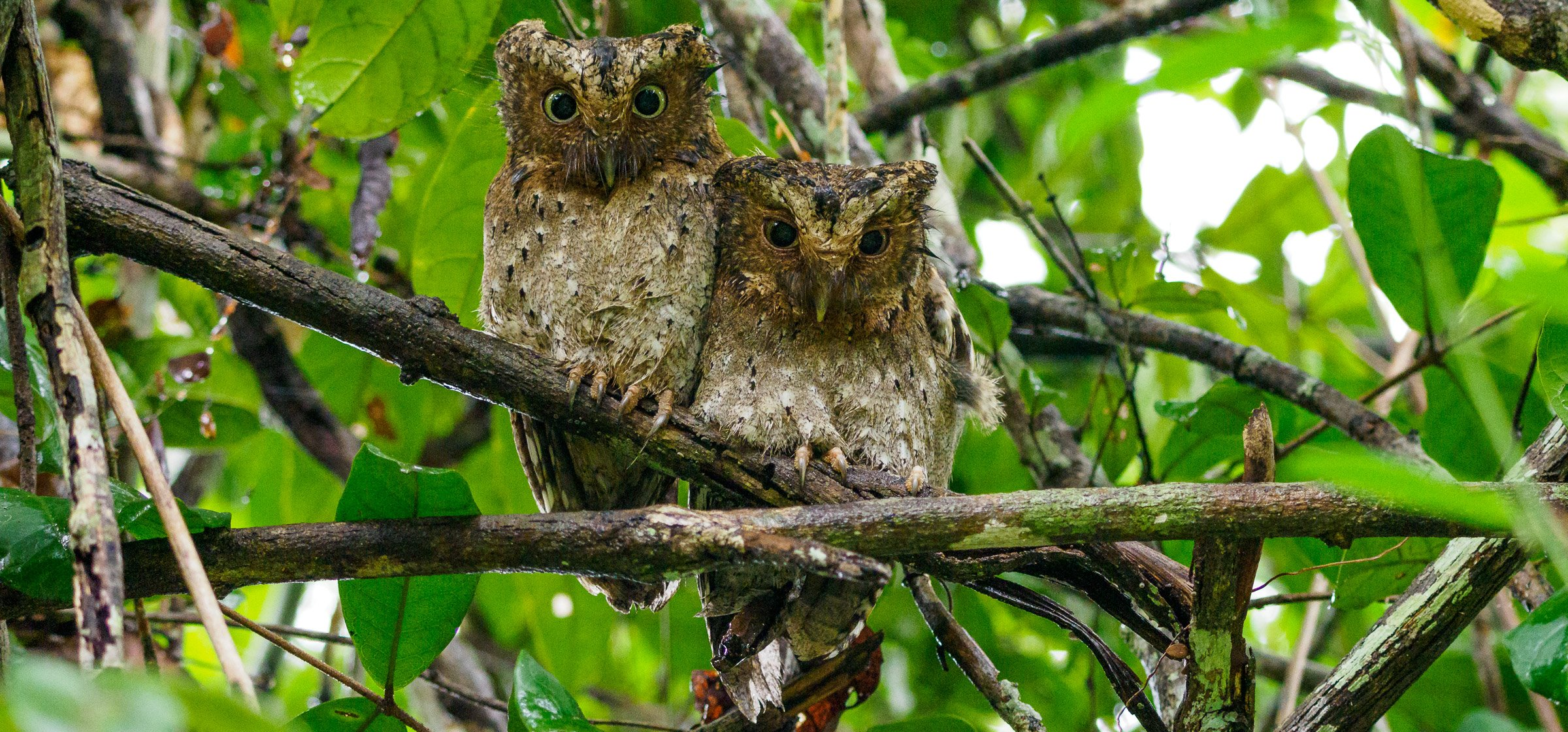 A mating pair of sokoke scops owl on a branch surrounded by trees