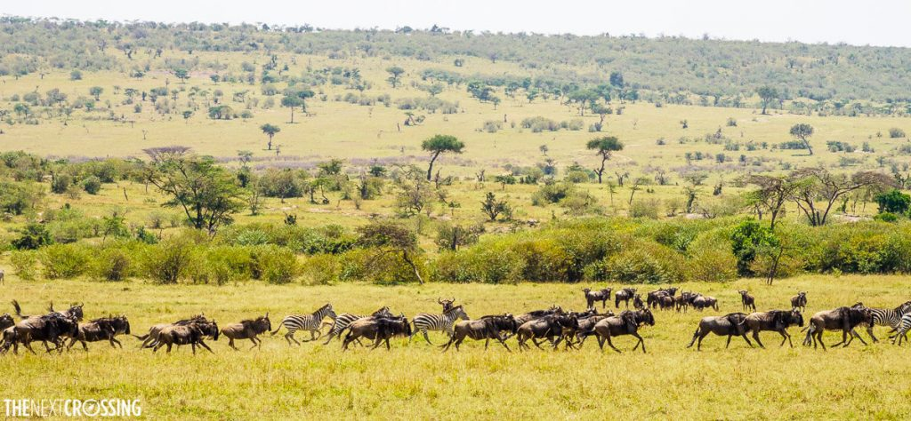 The plains of the masai mara with herds of animals
