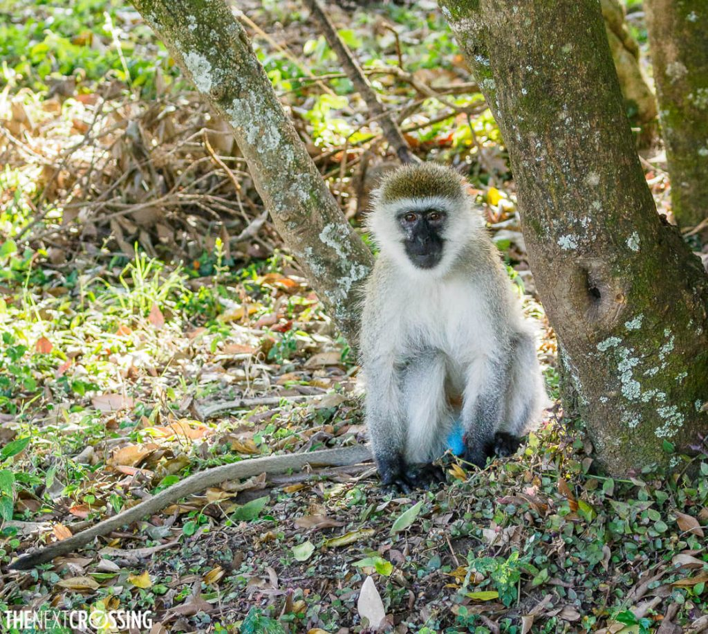 Male vervet monkey with his bright blue balls