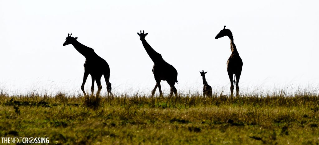 A family of giraffes, including one baby giraffe, silhouetted against the sky of the African savannah