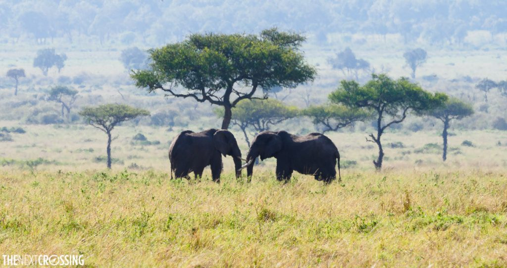 Two elephants seen on our Masai Mara Safari, they look like they are talking to each other under the acacia tree