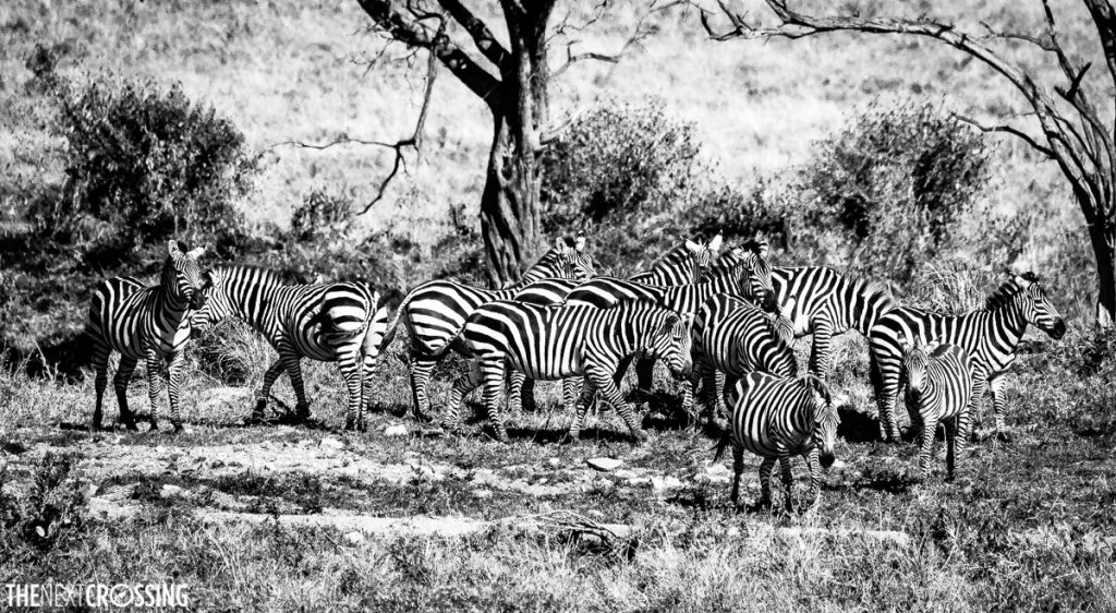 A black and white photo of a herd of zebras in a clearing in the Masai Mara