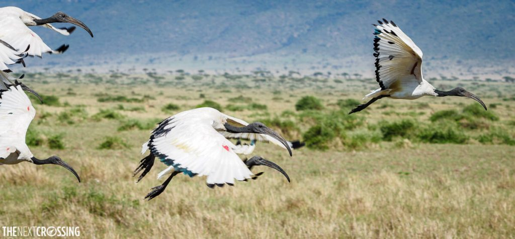 A flock of African Sacred Ibises flying through the plains of the Masai Mara