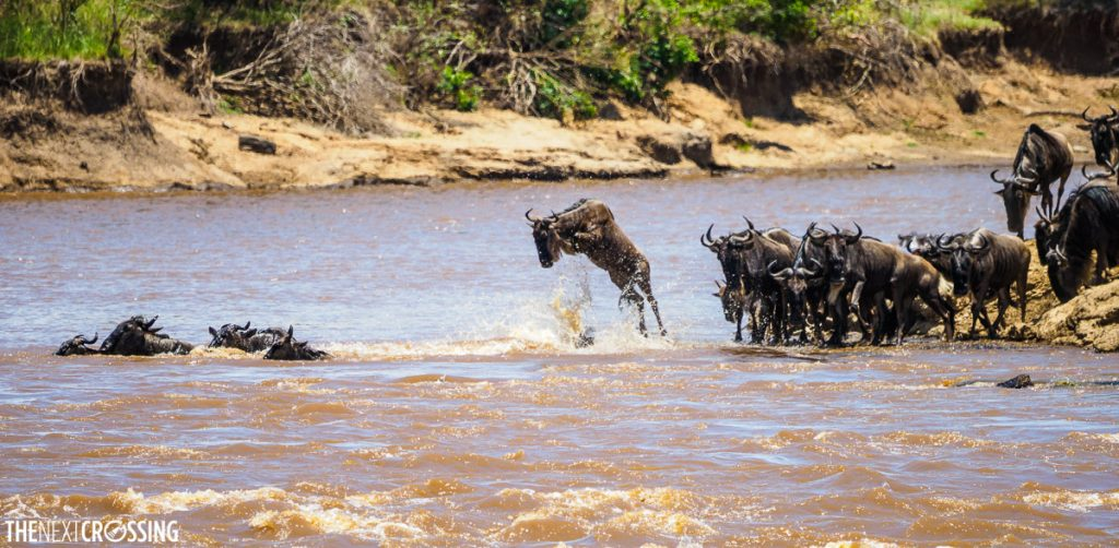 Wildebeest jumps into the Mara River during the Great Migration