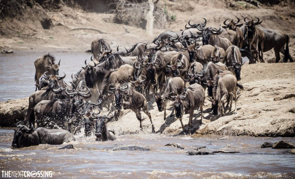 A herd of wildebeest enters the Mara River during the Great Migration