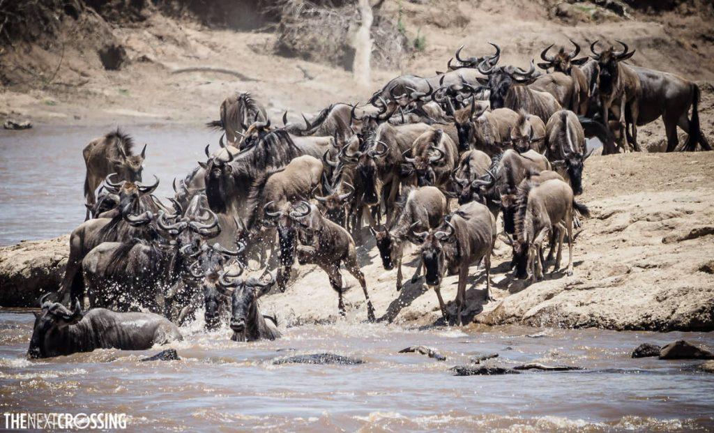 Herd of wildebeest jump into the Mara river