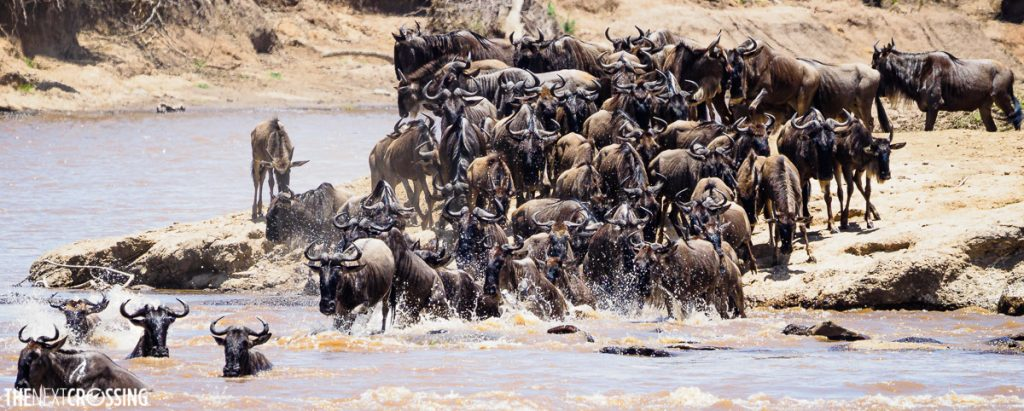 Herd of wildebeest waiting on the river bank of the Mara river