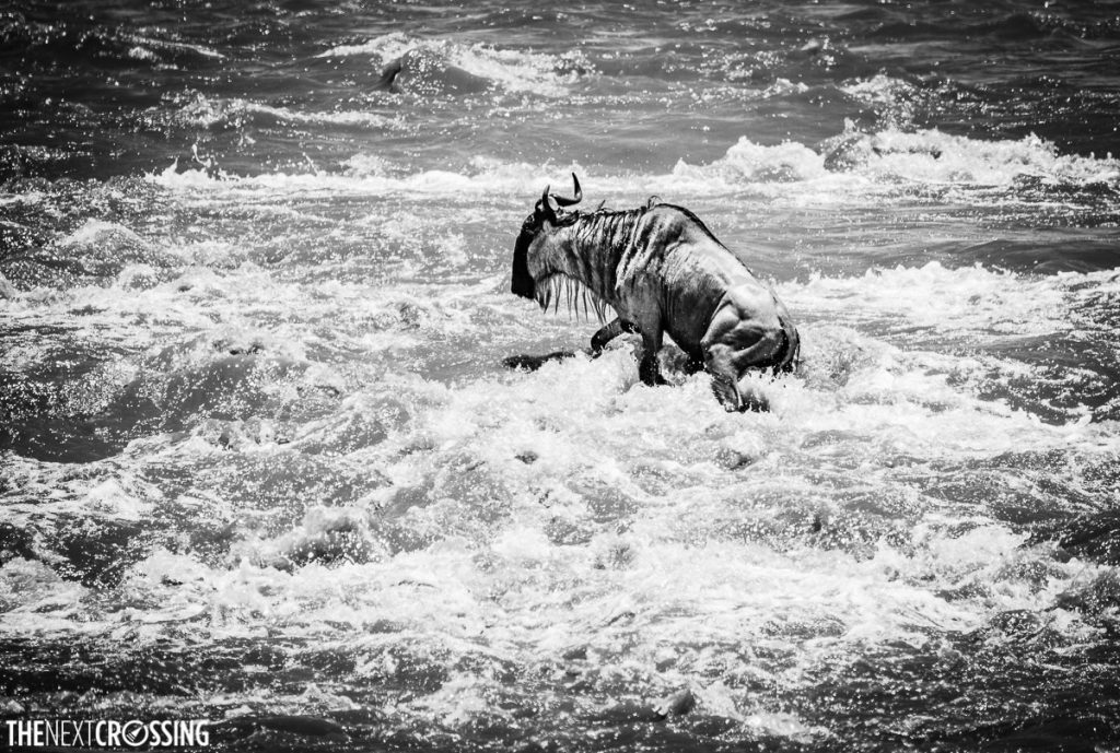 Black and white image of a lone wildebeest on a rock amongst the Mara River rapids