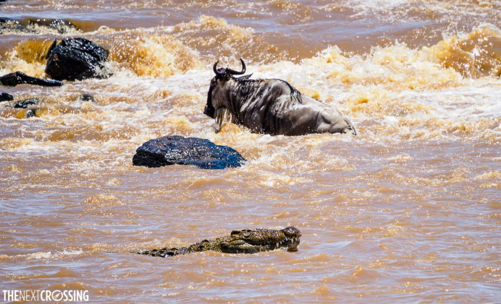 A crocodile approaches a wildebeest in the Mara River