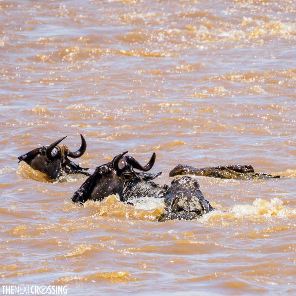 Corcodiles hunting wilderbeests in the Mara river, seen on our Masai Mara safari
