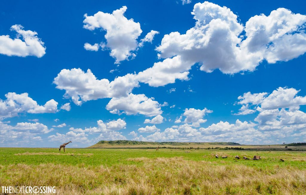 Bright blue skies over the Masai Mara, with a tall giraffe on the savannah