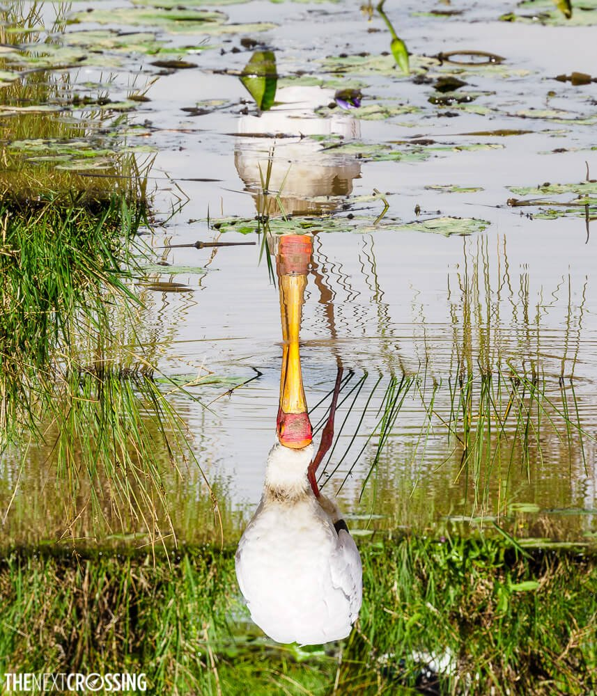 A yellow billed stork and his reflection in a pond with green reeds