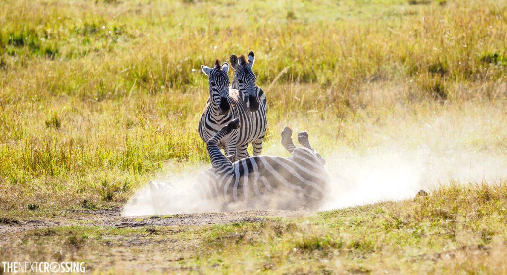 A classic Masai Mara safari scene, a zebra rolling in the dust on the Masai Mara