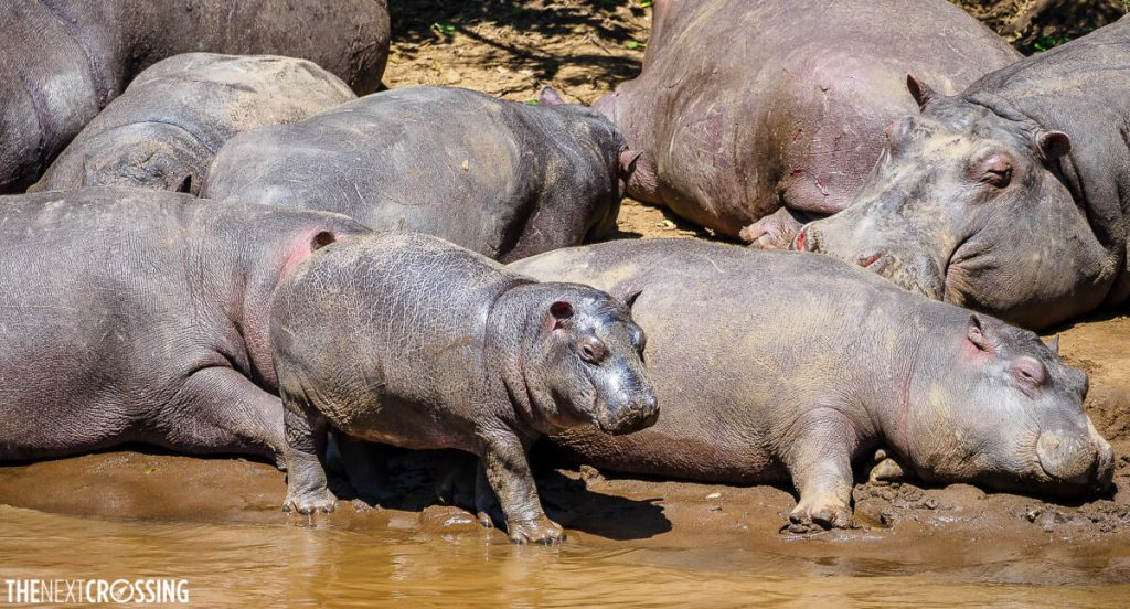Baby hippo about to enter the water, surrounded by adult hippos