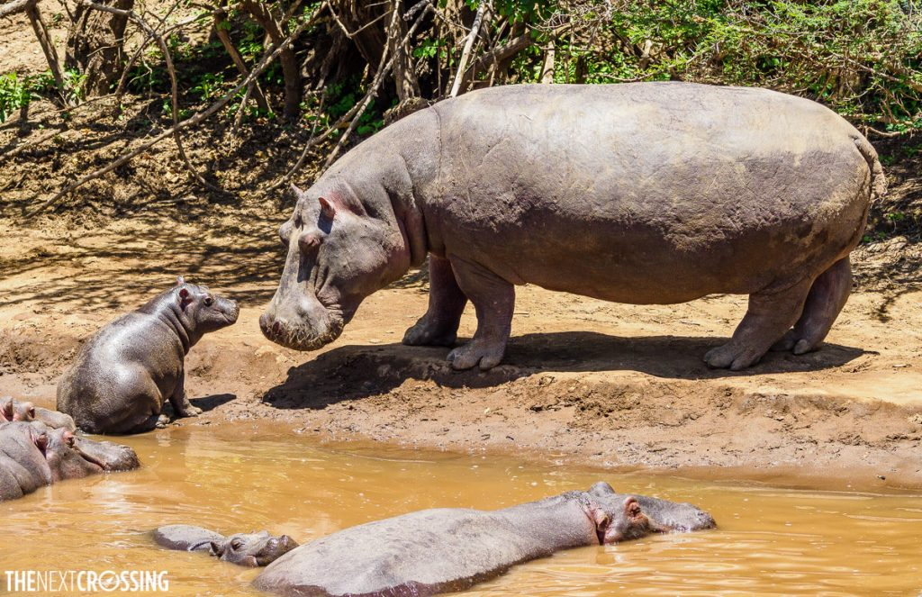 Mummy hippo looking lovingly at her baby