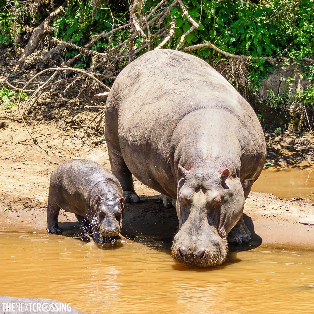 Mother and baby hippo, drinking from the Mara River