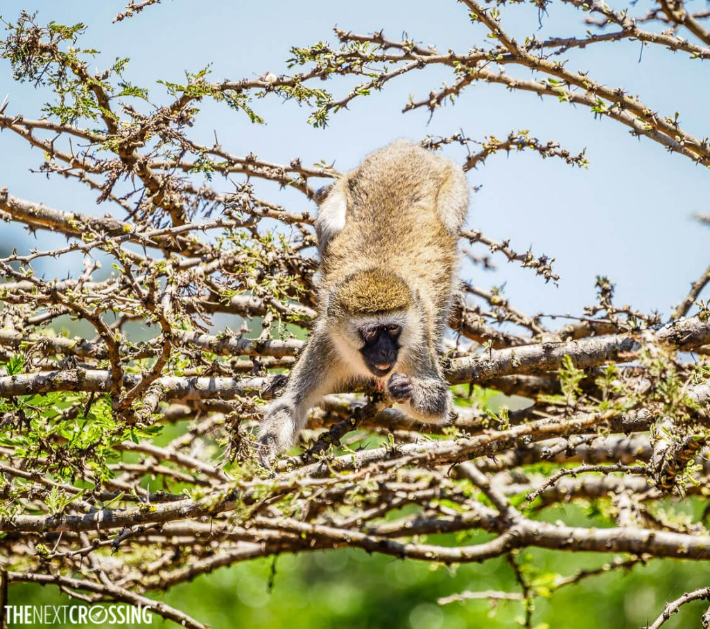 A vervet monkey feeding on the leaves of a spiny tree