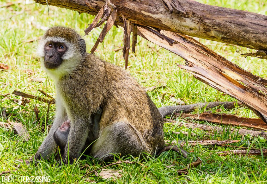 Vervet monkey mother feeding her little baby