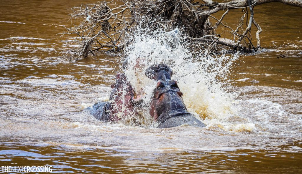 Two hippos fighting in the Mara River