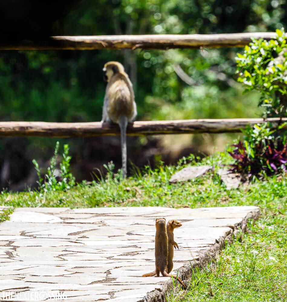 Two red mongoose standing on their hind legs, and a vervet monkey