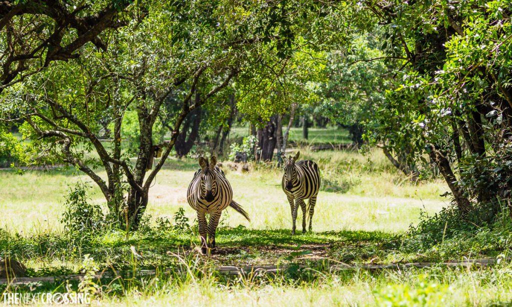 Zebras trotting through the lawns of the Royal Mara Safari Lodge