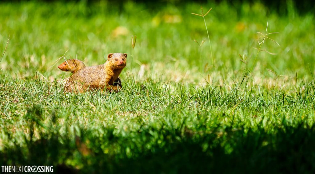 red mongoose on the green lawn of our safari lodge