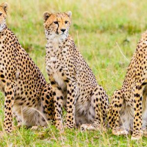 Cheetah Cubs in the Masai Mara