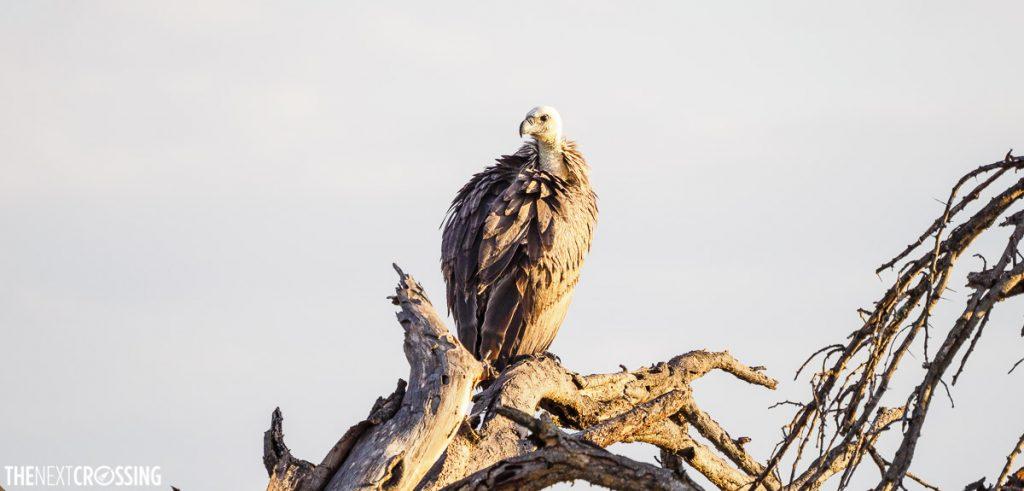 White backed vulture on tree in Masai Mara