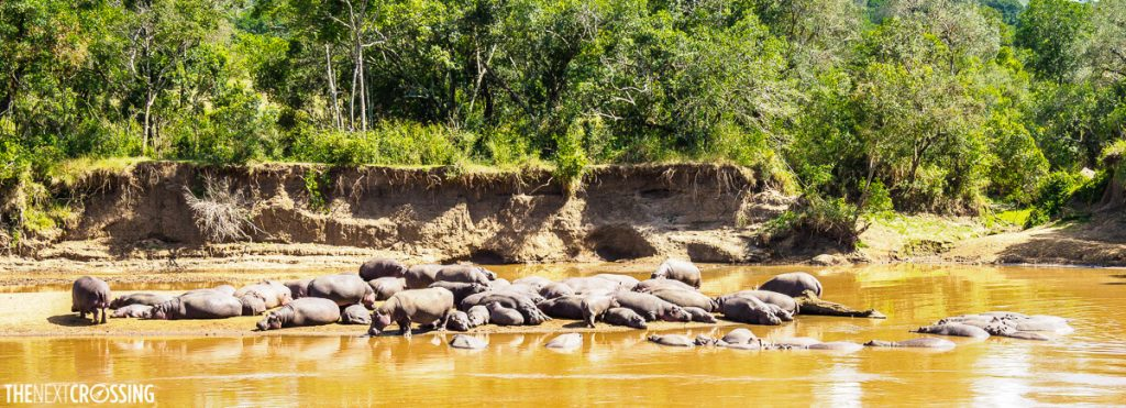 A large pod of hippos resting in the hippo lagoon