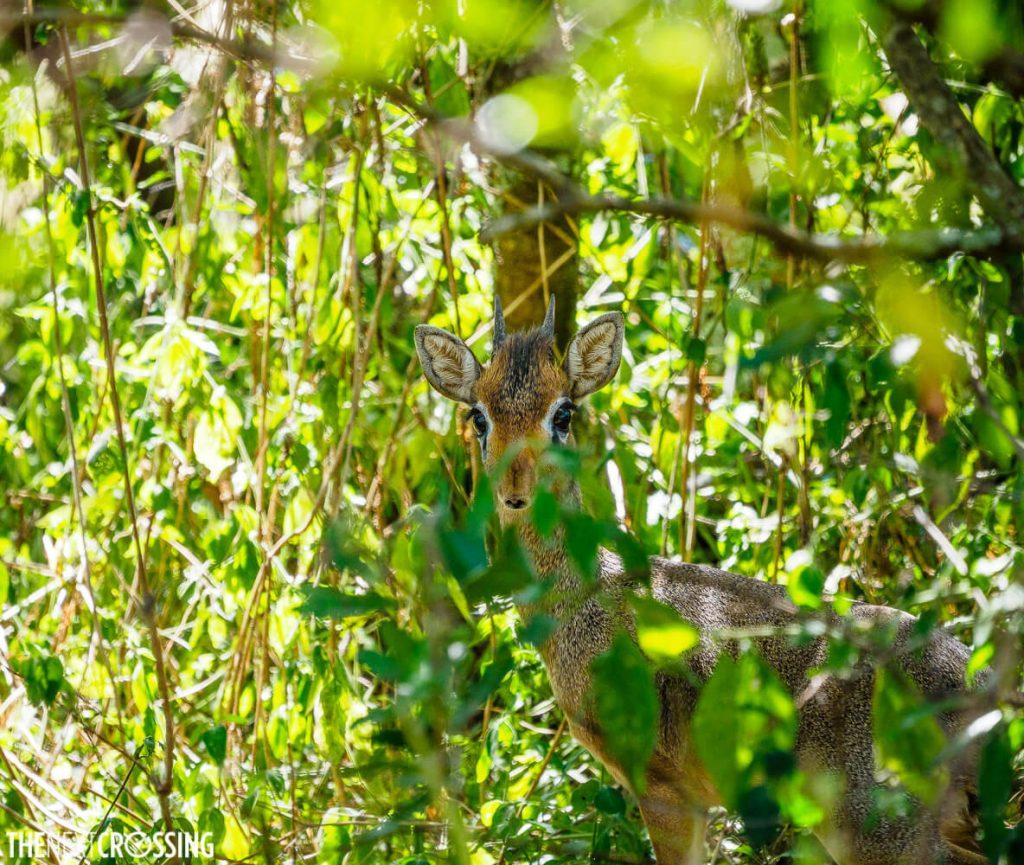 A dik-dik hiding in the bushes