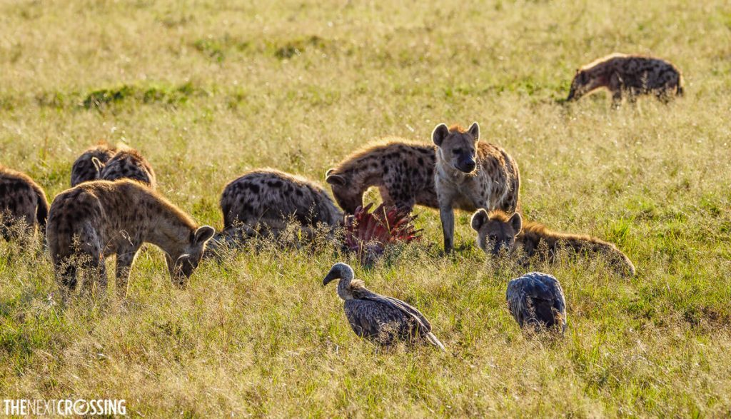 Hyenas around a carcass and vultures waiting their turn