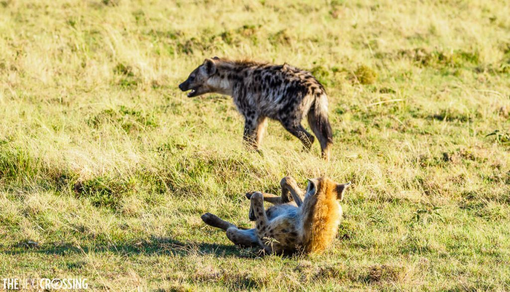 Hyena rolling in the grass