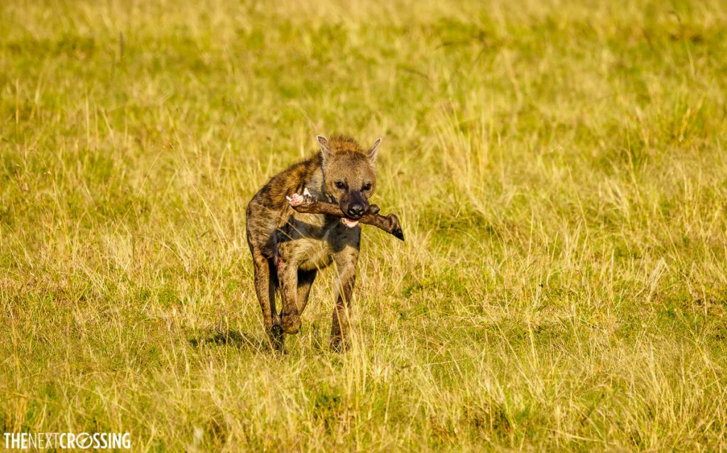 Hyena with wildebeest leg in its jaws