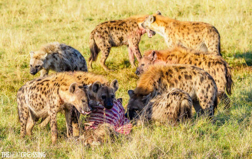 Hyenas surrounding a carcass of a wildebeest in the Masai Mara