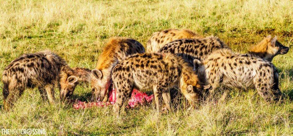 Many hyenas sharing a bloody carcass